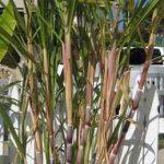 sugarcane-sugar-cane
