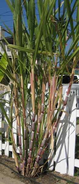 how to make sugar from sugarcane at home