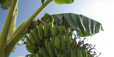How to Grow Bananas – Essential Tips On Growing Banana Trees
