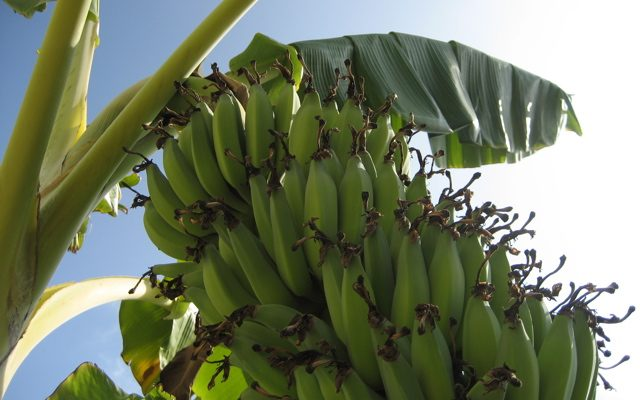 Banana asexual reproduction in plants