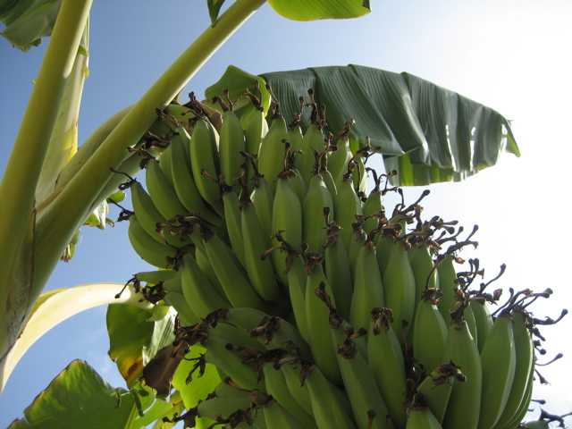 How to Grow Bananas - Essential Tips On Growing Banana Trees