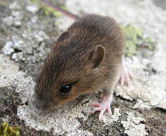 how to keep field mice away