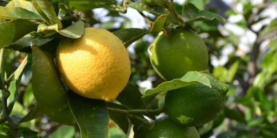 Growing Citrus in Containers – Zestfully Good