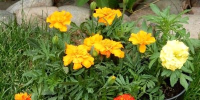 Companion Planting for Pest Control – Bugged Out With BFF's