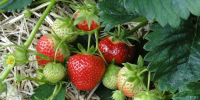 Make Your Garden Taste Better – Growing Strawberries at Home