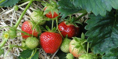 Make Your Garden Taste Better – Growing Strawberries at Home
