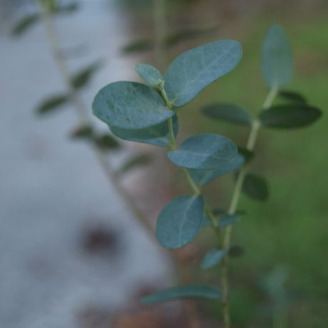 Eucalyptus is good for coughs & congestion.