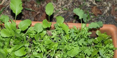 The Salad Days – Tips for Growing Your Own Salad Ingredients