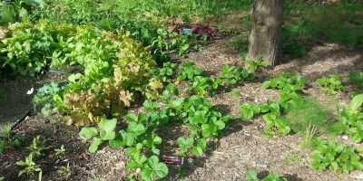 Wood Chip Mulch – Free Friend or Fungusy Foe?