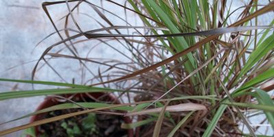 Grow Your Own Lemongrass and Stevia – Great Herb Garden Additions