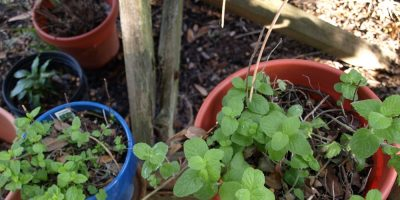 Refresh Mint – Adding Zip, Zest, and Zing to the Garden with Mints!