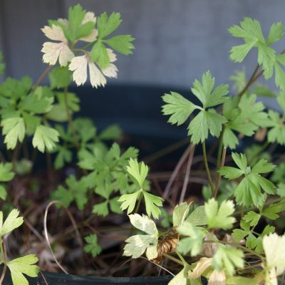 Scarborough Fair – Growing Parsley, Sage, Rosemary and Thyme