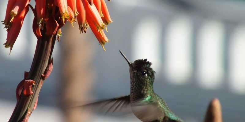 How to Attract Hummingbirds and Bring the Sugar Junkies Out to Play