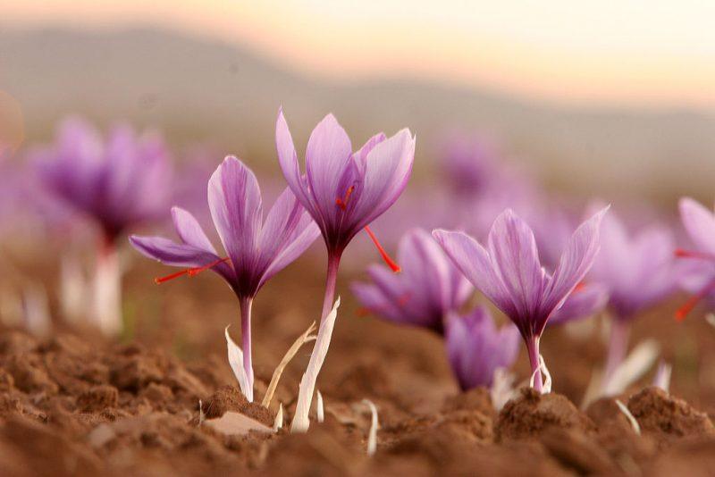 Crocus Sativus - aka Saffron is a unique fall option. Image - Safa.daneshvar, Wikipedia