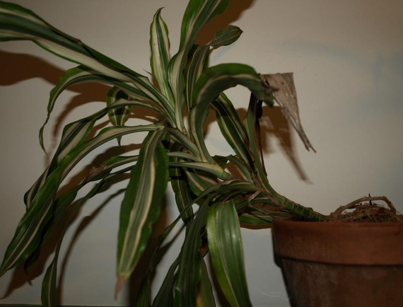 Dracenas: a popular house plant that is also fairly drought tolerant.