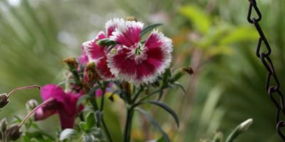 How to Save Your Hanging Baskets