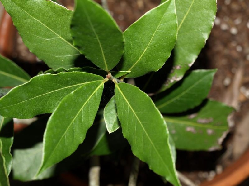 unusual herbs: bay