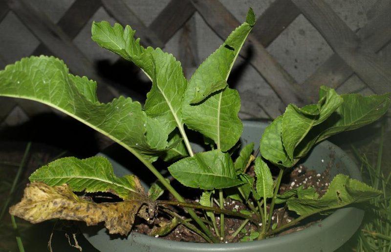 unusual herbs : horseradish