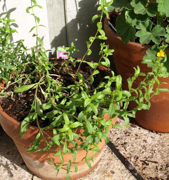 grow unusual herbs Mexican tarragon