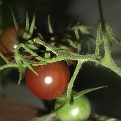 Tomato Growing Tips for the Best Sandwich Ingredients Ever
