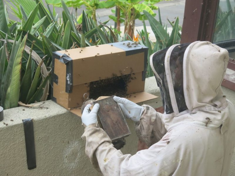 bee relocation and smoking