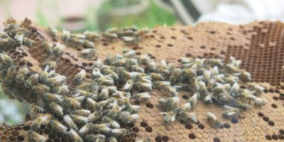 Adventures in Live Bee Removal – Don't be a Serial Buzz Killer