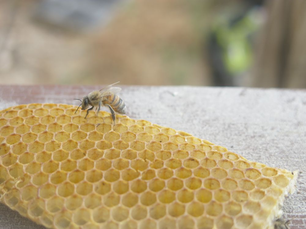 Live bee removal adventures how to handle a bee invasion live bee removal vs bee extermination solutioingenieria Images