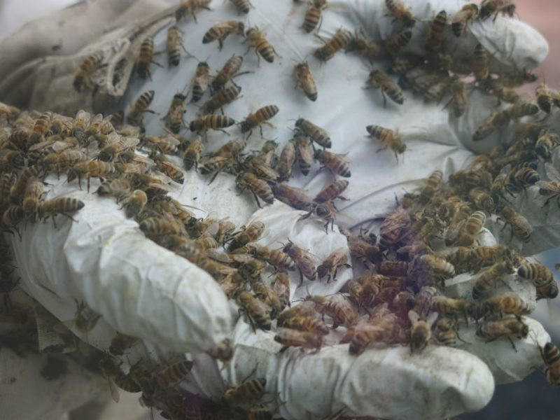 scooping bees by hand