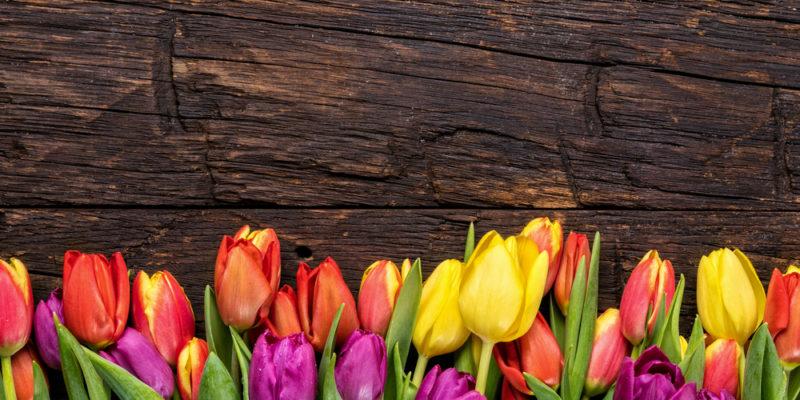 Growing Tulips in Nine Easy Steps