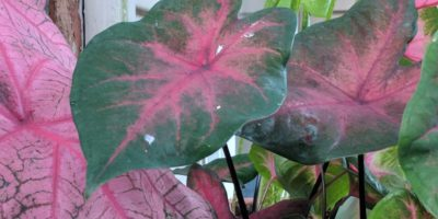 How to Grow Caladiums – Add Some Tropical Goodness to Your Yard