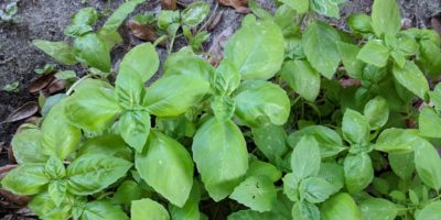 Best Basil Varieties of 2018 – Pick Your Pesto